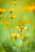 Heliopsis helianthoides (Smooth Oxeye) flowers.