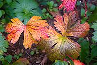 Geranium macrorhizum in autumn color, fall foliage