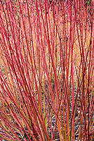 Cornus alba 'Ruby aka Sibricia Ruby in red & orange winter stems