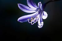 Agapanthus -  purple petals and stamen.