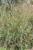 Panicum virgatum 'Shenandoah' switch grass, ornamental grass in summer bloom