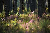 France, Aquitaine, Landes (40) , Landes, Pissos, Forêt landaise de pins et bruyère //  France, Aquitaine, Landes, Pissos: Landes pine forest and heather