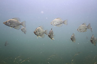 Group of Black Crappie<br />