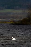 Sweden, Lake Hornborga. Mute Swan.