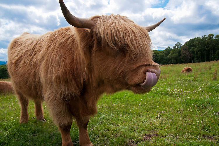 A Highland Cow  on a field near Loch Lommond, Scotland, with its tongue inside the nose..This breed of cattle is characterized by their reddish long wavy coats and long horns (when adult), giving them a rugged albeit funny look. .Highland cows can be found all over Scotland, but in higher numbers in the Scottish Highlands and Western Isles of Scotland.