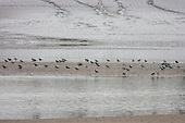 Northern Lapwing (Vanellus Vanellus) Reasting on a sand bank in the middle of the Wyre estury, as the tide goes out. Sometimes known as a Peewit, Green Plover, Teuchit, Hornpie, Flopwing, .Chaucer wrote of the 'false lapwynge, ful of treacherye', the lapwing has had an association with deceit, perhaps because of its beautiful plumage and joyous display flights.