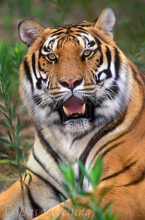 683999383 portrait of a wildlife rescue bengal tiger panthera tigris near her enclosure at a wildlife rescue facility - species is highly endangered in the wild