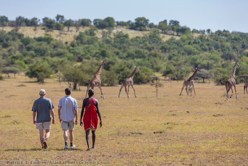Three men on a walking tour near a group of giraffes on the Masai Mara, Kenya, Africa