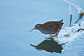 The Water Rail has paused before beginning another circuit of it's little pool of water fringed with ice in a ditch. This was one of the very few birds able to feed during the hard winter of 2010. Main waterbodies, rivers and the ground had frozen over, for a few days.