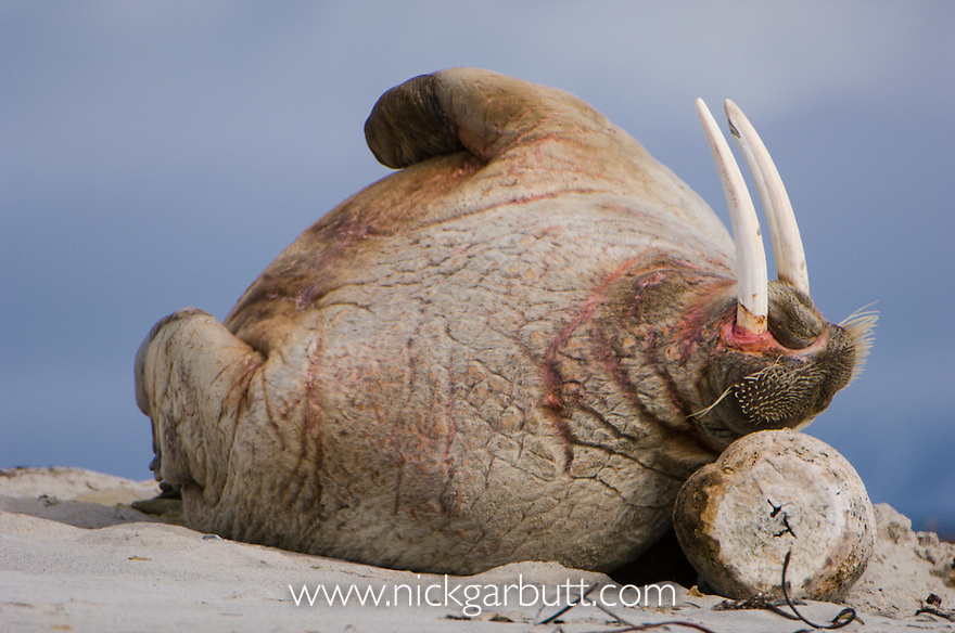 Walrus (Odobenus rosmarus) scratching itself against drift wood. Northern coast of Spitsbergen, Svalbard, Arctic Norway.