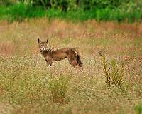 Coyote and bird showdown in Portland, Oregon