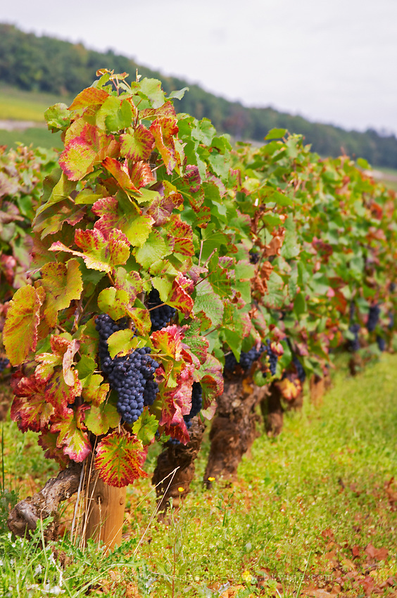 Vineyard. Vine leaf. Pinot noir. Corton Grand Cru. Aloxe Corton, Cote de Beaune, d'Or, Burgundy, France