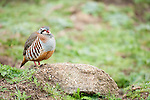 Red Legged Partridge, Alectoris rufa, Sierra de Andujar Natural Park, Sierra Morena, Andalucia, Spain