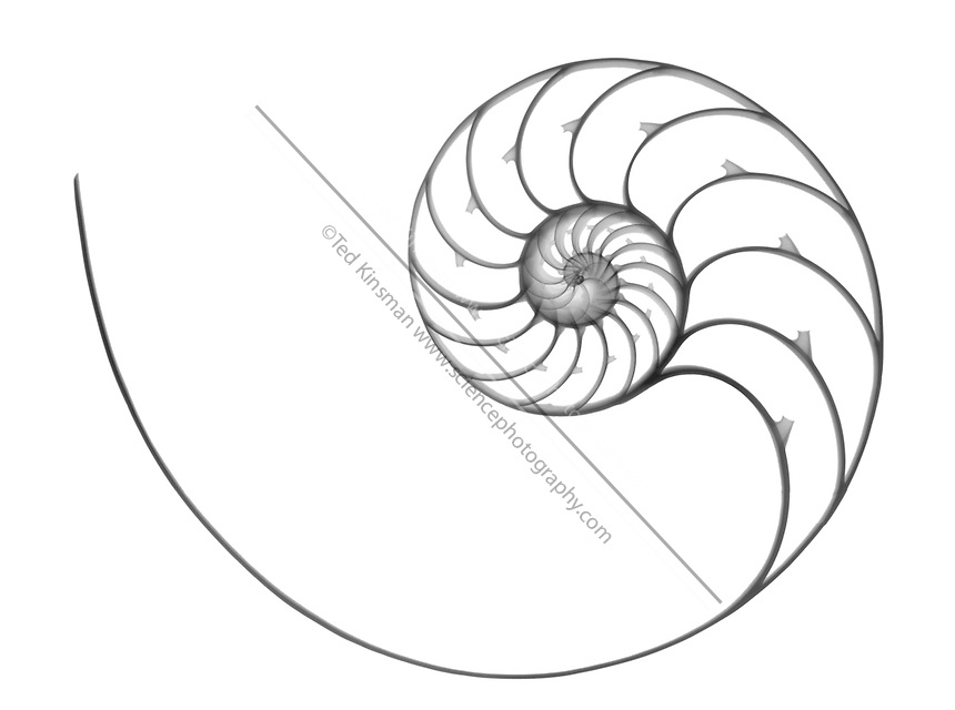 Chambered Nautilus Drawing Nautilus Shell Drawing