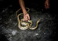 Negozio di serpenti per uso alimentare: mano di un commesso che prende un serpente.<br /> Shop snakes for food : the hand of a clerk taking a snake .