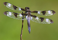 Twelve-spotted Skimmer (Libellula pulchella) Dragonfly - Male, Silver Lake Preserve, West Harrison, Westchester County, New York