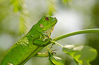 Young green iguana<br /> St. John<br /> U.S. Virgin Islands