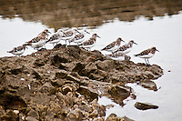 Part of a larger group, these sanderlings were exploring an area of Pescadero State Beach uncovered by an extremely low tide.