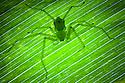 Green Huntsman Spider {Sparassidae} on leaf in tropical rainforest. Masoala Peninsula National Park, north east Madagascar.