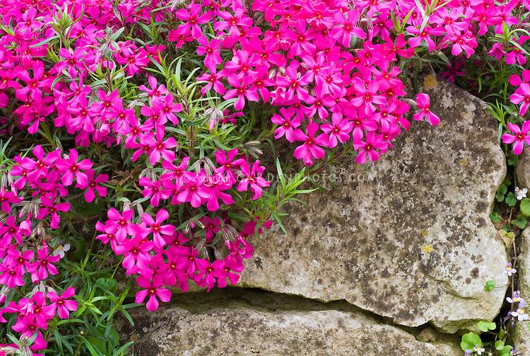 Phlox subulata 'Scarlet Flame' creeping groundcover flowering spring plant, climbing over rocks in sloped garden