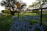 Spring Bluebonnets bloom along a old, rustic metal fence on Willow City Loop Road