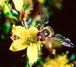 Episyrphus balteatus hoverfly