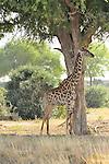 Giraffes photographed on safari in Tsavo  East National Park, Kenya