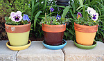 Colorful flowerpots with spring flowers pansy