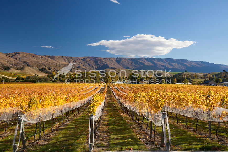 Rows of Autumn Grape Vines, in Cromwell, with the Pisa Range behind, Central Otago, South Island, New Zealand - stock photo, canvas, fine art print