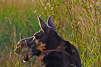 Backlit, cow, moose, Grand Teton National Park