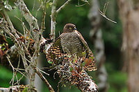 Madagascar Sparrowhawk (Accipiter madagascariensis), Andasibe-Mantadia National Park, Eastern-central Madagascar