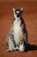 Ring-tailed Lemur (Lemur catta)  Madagascar