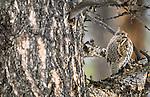 Ruffed grouse, Yellowstone National Park, Wyoming, USA