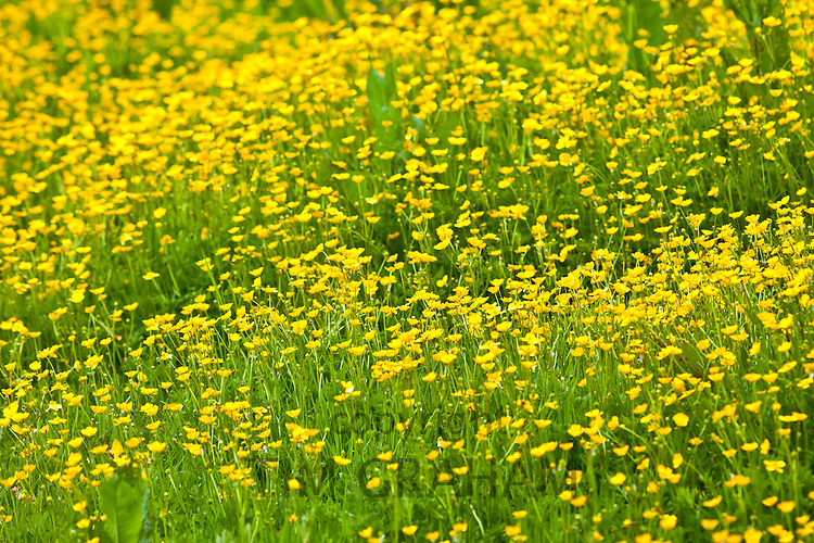 Buttercup meadow in County Cork, Ireland