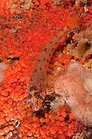 QX72128-D. Longfin Sculpin (Jordania zonope) on tunicates (Metandrocarpa taylori). Washington, USA, Pacific Ocean.<br /> Photo Copyright &copy; Brandon Cole. All rights reserved worldwide.  www.brandoncole.com