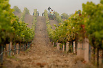 Pinot Noir harvest at Laetitia Vineyards, Arroyo Grande, California