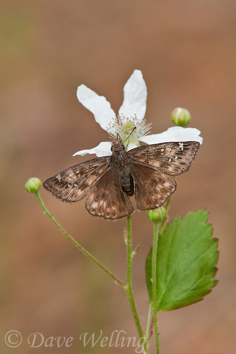 340410001 a wild female horace's duskywing ennyis horatius perches and feeds on a small white wildflower in sam houston national forest san jacinto county texas