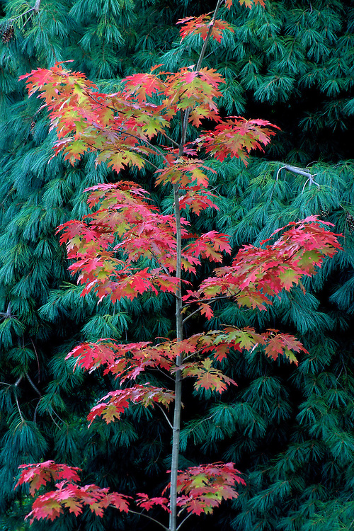 Red Oak sapling in fall with Weeping Eastern White Pine at Van Dusen Botanical Garden, Vancouver, BC.