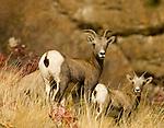 Mountain Sheep along dry hillside in northeastern Washington
