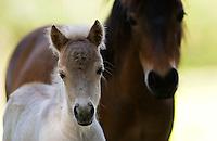 Shetland pony and foal , North Island, New Zealand