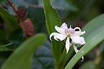 Orchid, Tiputini