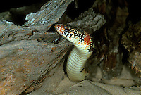 479970002 a wild adult texas longnose snake rhinocheilius lecontei tessellatus explores its sandy surroundings on a ranch in the rio grande valley in south texas