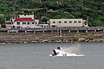 Africa, South Africa, False Bay. A Killer Whale breaches close to shore in the waters of False Bay outside Cape Town.
