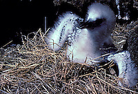 Chick of red-tailed tropic bird (Koa e ula) or Phaethon rubicauda rothschildi, nesting on Lehua islet.
