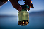 A sample of Asian clams, an invasive species to Lake Tahoe at Camp Richardson, Calif., October 30, 2012.