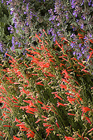 Red flower Penstemon pinifolius compactum, Pineleaf penstemon (pineneedle beardtongue) with 'Walker's Low' Catmint, Nepeta racemosa (mussinii) blue flower perennial in New Mexico drought tolerant garden