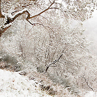 Snow covered olive trees in the Spoleto Valley in Umbria, Italy