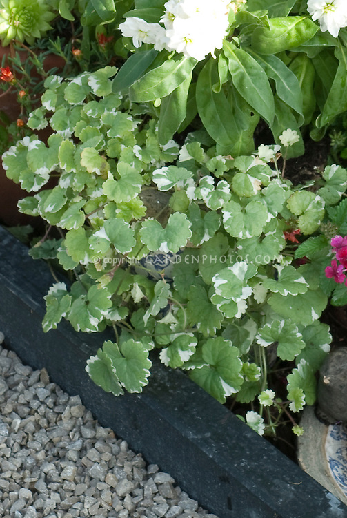 Annual foliage plant Glechoma hederacea Variegata