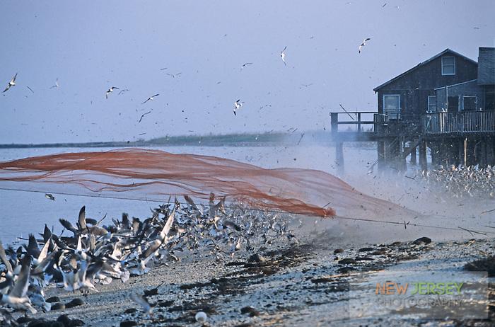 Firing a cannon net over a flock of shorebirds.  Reed's beach, New Jersey