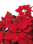 Poinsettia - red Christmas flower leaves on white background